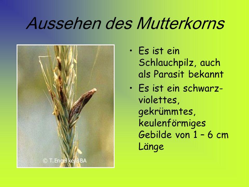 Vorkommen des Mutterkorns hauptsächlich werden Roggen, Gerste und Weizen befallen sie vermehren sich vor allem, wenn es feucht- kühle Witterungen gibt doch auch an heißen Witterungen kann es zu hohem Befall kommen