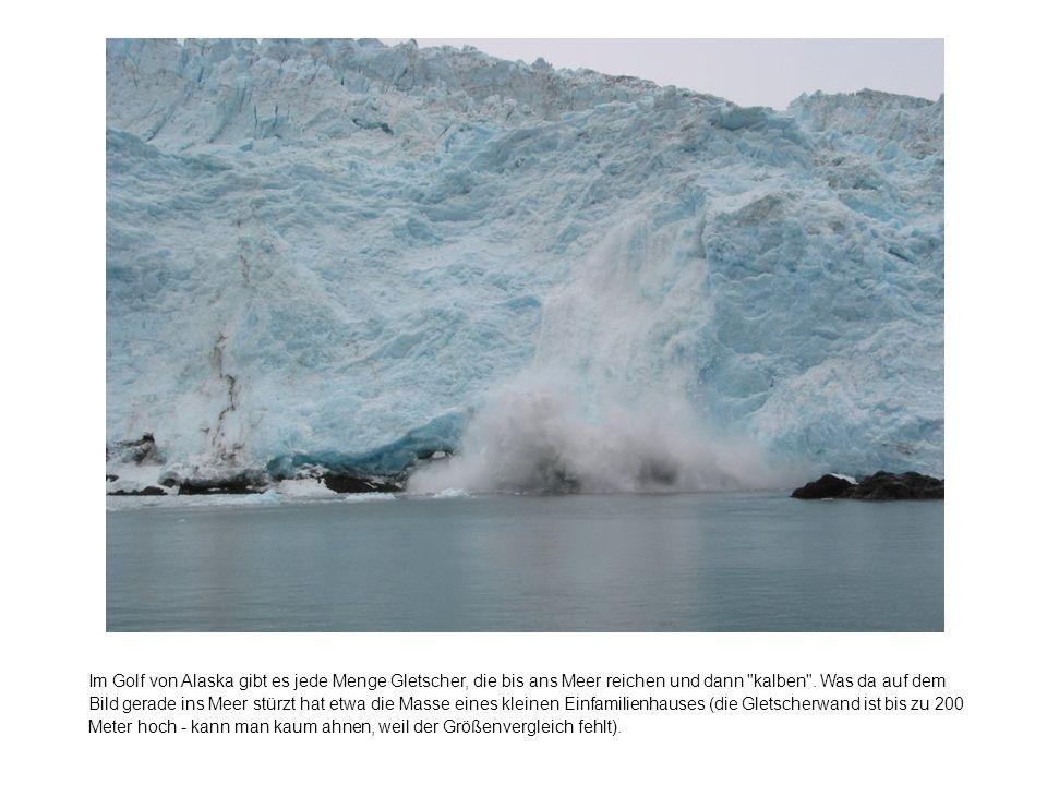 Im Golf von Alaska gibt es jede Menge Gletscher, die bis ans Meer reichen und dann kalben .