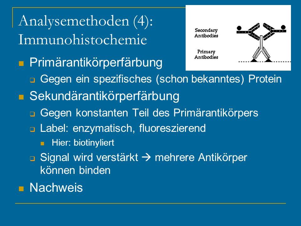 Analysemethoden (4): Immunohistochemie Primärantikörperfärbung Gegen ein spezifisches (schon bekanntes) Protein Sekundärantikörperfärbung Gegen konsta