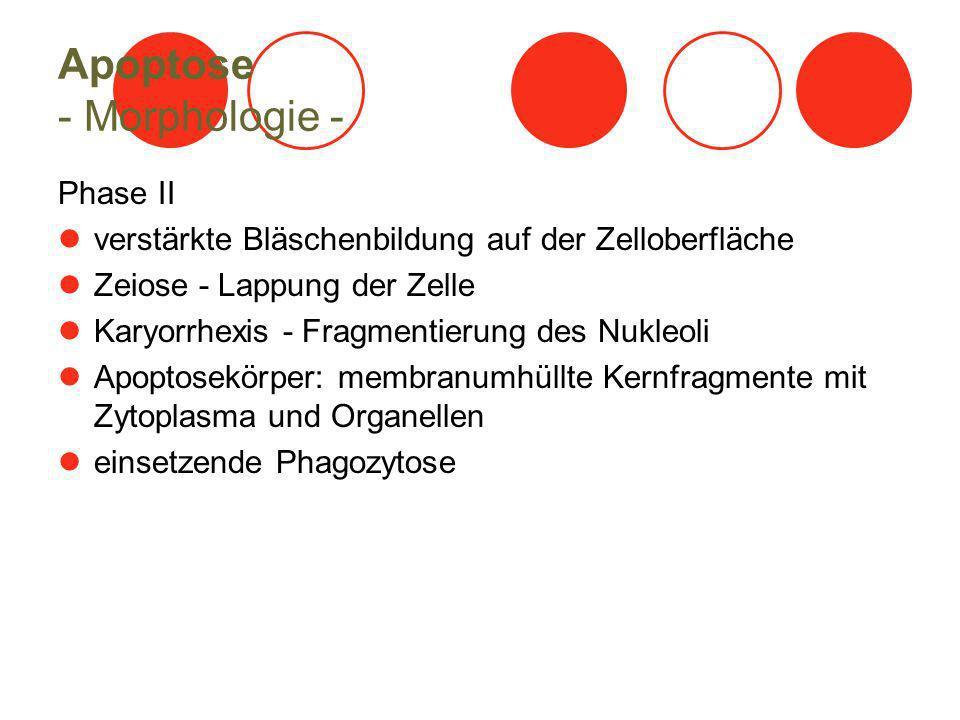 Apoptose - Morphologie - Phase II verstärkte Bläschenbildung auf der Zelloberfläche Zeiose - Lappung der Zelle Karyorrhexis - Fragmentierung des Nukleoli Apoptosekörper: membranumhüllte Kernfragmente mit Zytoplasma und Organellen einsetzende Phagozytose