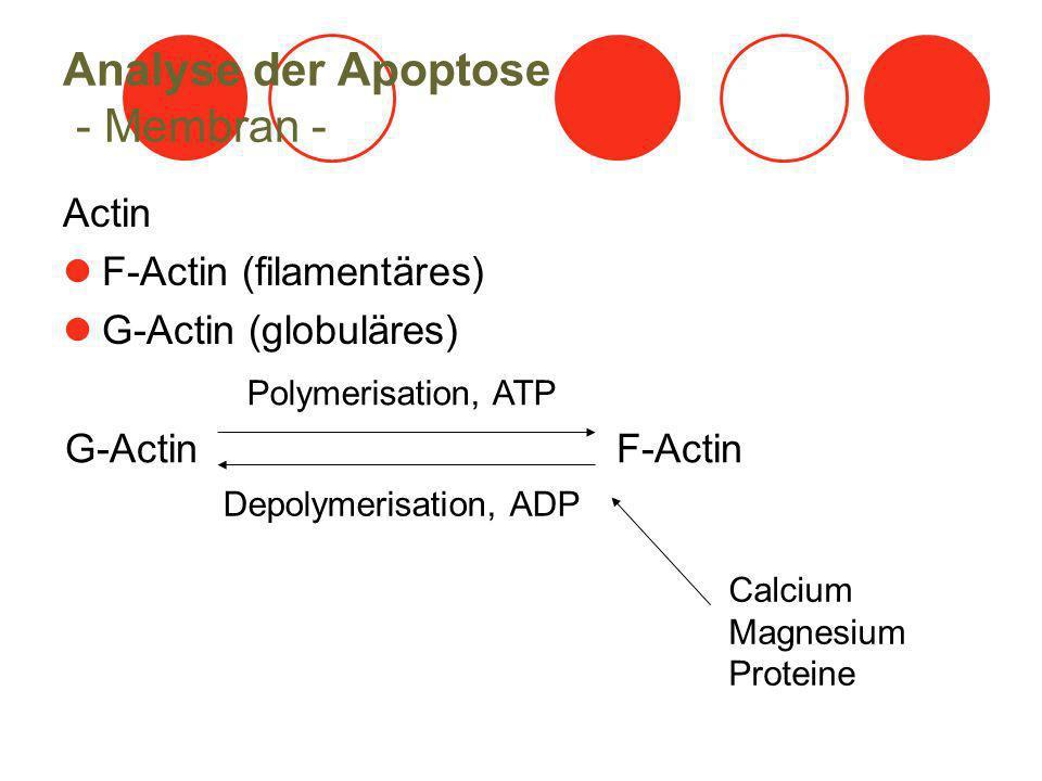 Analyse der Apoptose - Membran - Actin F-Actin (filamentäres) G-Actin (globuläres) Polymerisation, ATP G-Actin F-Actin Depolymerisation, ADP Calcium Magnesium Proteine