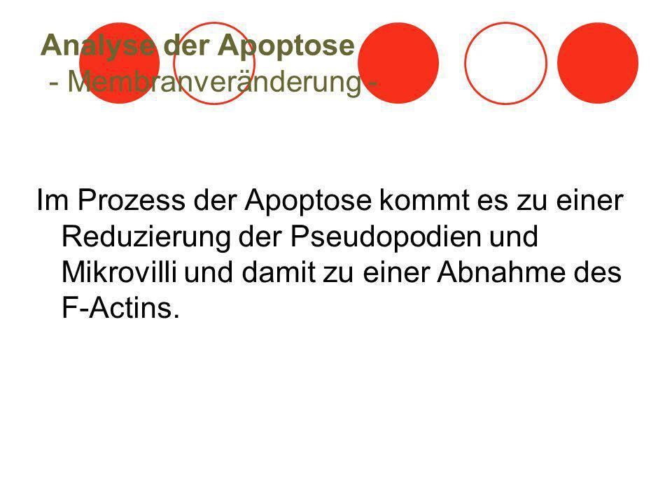 Analyse der Apoptose - Membranveränderung - Im Prozess der Apoptose kommt es zu einer Reduzierung der Pseudopodien und Mikrovilli und damit zu einer A