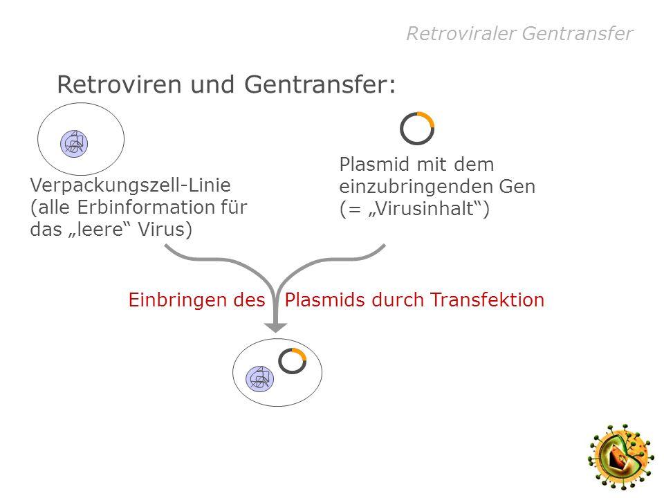 Retroviraler Gentransfer Retroviren und Gentransfer: Verpackungszell-Linie (alle Erbinformation für das leere Virus) Plasmid mit dem einzubringenden Gen (= Virusinhalt) Einbringen des Plasmids durch Transfektion Virusproduktion