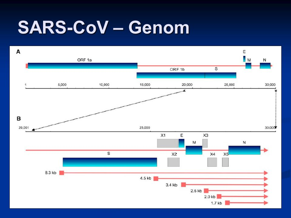 SARS-CoV Quelle: http://www-micro.msb.le.ac.uk/3035/Coronaviruses.html RNA genome N protein HE protein M protein S protein