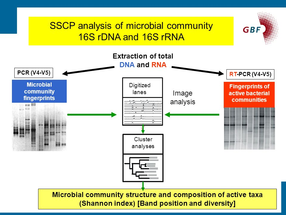 Extraction of total DNA and RNA Cluster analyses Image analysis Digitized lanes SSCP analysis of microbial community 16S rDNA and 16S rRNA PCR (V4-V5) Fingerprints of bacterial communities Fingerprints of active bacterial communities RT-PCR (V4-V5) Microbial community structure and composition of active taxa (Shannon index) [Band position and diversity] Microbial community fingerprints PCR (V4-V5)