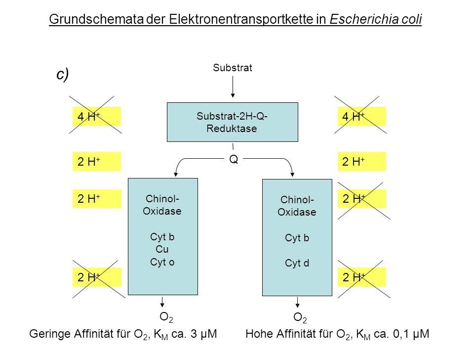 Grundschemata der Elektronentransportkette in Escherichia coli Substrat-2H-Q- Reduktase Substrat O2O2 O2O2 Chinol- Oxidase Cyt b Cu Cyt o c) Q Chinol- Oxidase Cyt b Cyt d 4 H + 2 H + 4 H + 2 H + Geringe Affinität für O 2, K M ca.