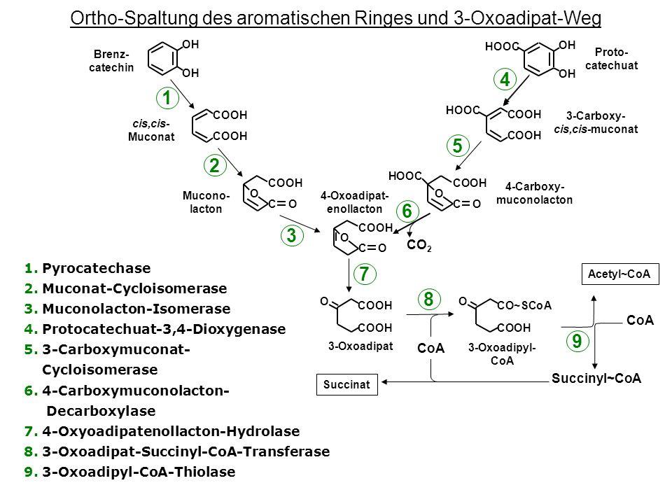 Ortho-Spaltung des aromatischen Ringes und 3-Oxoadipat-Weg 1.