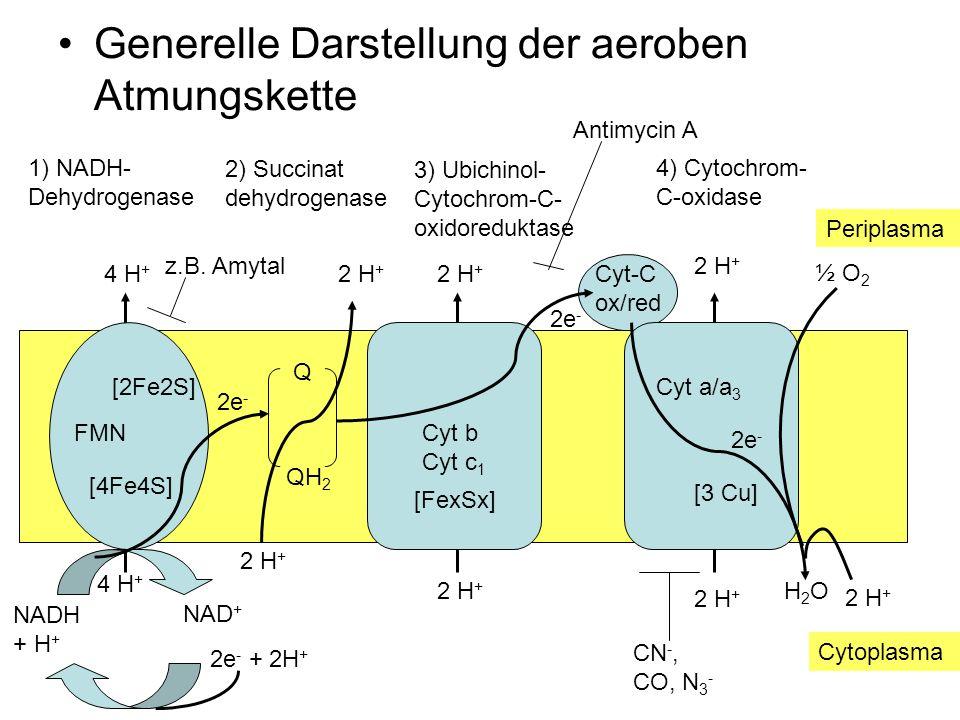Generelle Darstellung der aeroben Atmungskette FMN 1) NADH- Dehydrogenase NADH + H + NAD + 2e - + 2H + [4Fe4S] [2Fe2S] 2e - 4 H + Q 2 H + QH 2 2 H + 3) Ubichinol- Cytochrom-C- oxidoreduktase Cyt-C ox/red [FexSx] 2 H + Cyt b Cyt c 1 2e - Cyt a/a 3 [3 Cu] 2e - ½ O 2 2 H + H2OH2O 4) Cytochrom- C-oxidase 2) Succinat dehydrogenase CN -, CO, N 3 - Antimycin A z.B.