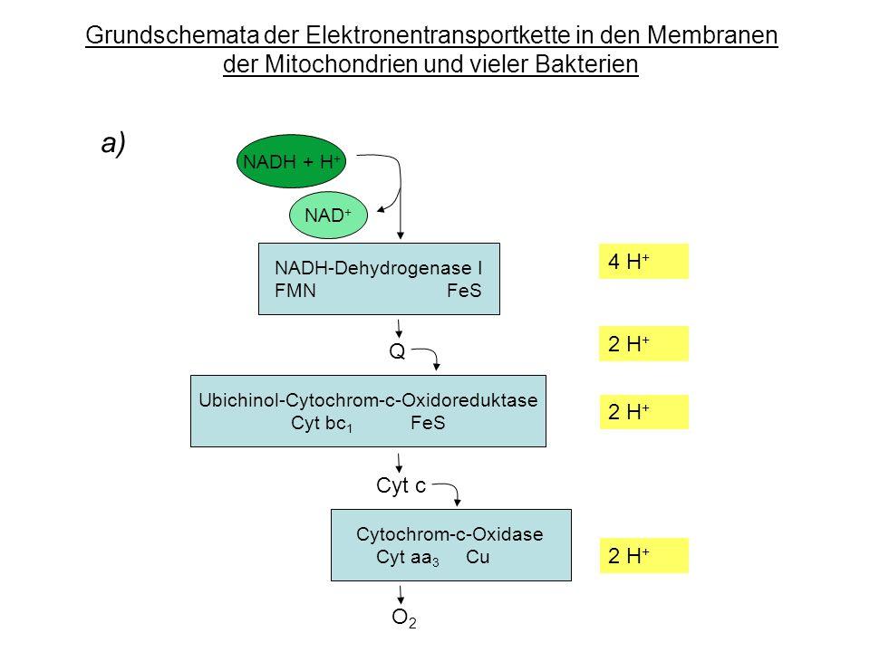 Grundschemata der Elektronentransportkette in den Membranen der Mitochondrien und vieler Bakterien a) NADH + H + NAD + NADH-Dehydrogenase I FMN FeS Ubichinol-Cytochrom-c-Oxidoreduktase Cyt bc 1 FeS Cytochrom-c-Oxidase Cyt aa 3 Cu Q Cyt c O2O2 4 H + 2 H +