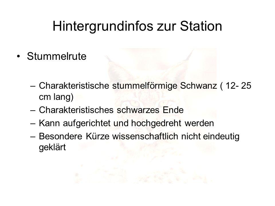 Hintergrundinfos zur Station Stummelrute –Charakteristische stummelförmige Schwanz ( 12- 25 cm lang) –Charakteristisches schwarzes Ende –Kann aufgeric