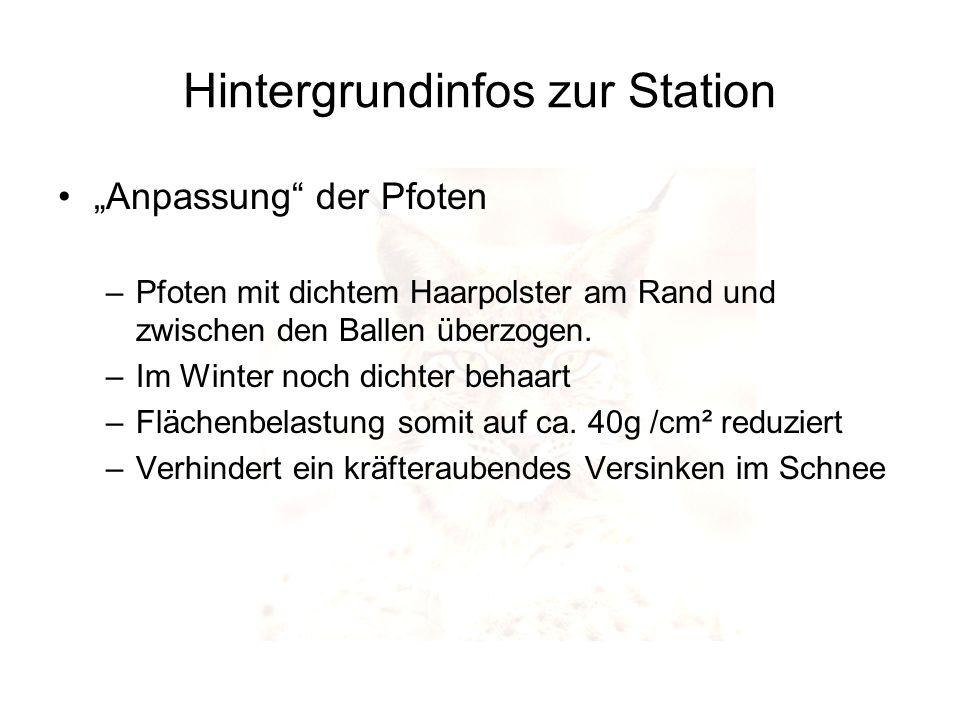 Hintergrundinfos zur Station Anpassung der Pfoten –Pfoten mit dichtem Haarpolster am Rand und zwischen den Ballen überzogen. –Im Winter noch dichter b