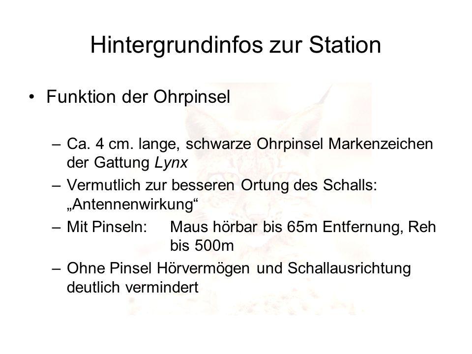 Hintergrundinfos zur Station Funktion der Ohrpinsel –Ca. 4 cm. lange, schwarze Ohrpinsel Markenzeichen der Gattung Lynx –Vermutlich zur besseren Ortun