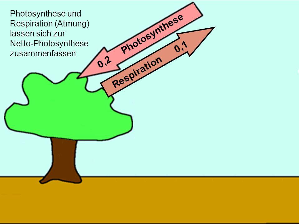 29 0,2 Photosynthese Respiration 0,1 Photosynthese und Respiration (Atmung) lassen sich zur Netto-Photosynthese zusammenfassen