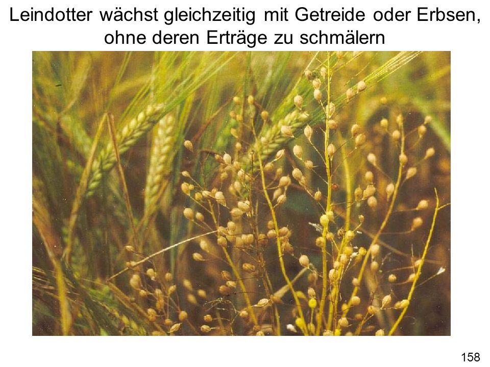 Leindotter wächst gleichzeitig mit Getreide oder Erbsen, ohne deren Erträge zu schmälern 158