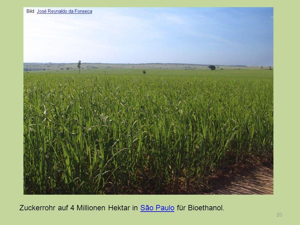 20 Zuckerrohr auf 4 Millionen Hektar in São Paulo für Bioethanol.São Paulo Bild: José Reynaldo da FonsecaJosé Reynaldo da Fonseca