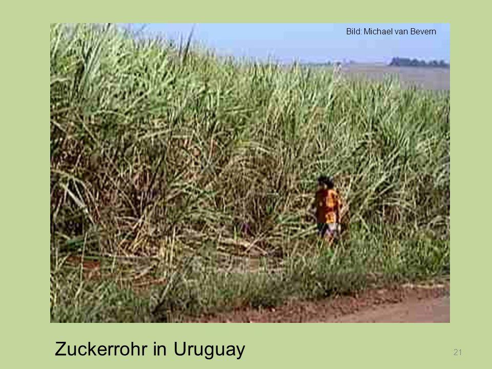 21 Zuckerrohr in Uruguay Bild: Michael van Bevern