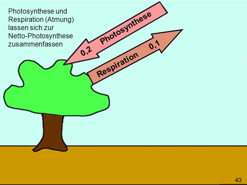 43 0,2 Photosynthese Respiration 0,1 Photosynthese und Respiration (Atmung) lassen sich zur Netto-Photosynthese zusammenfassen 43