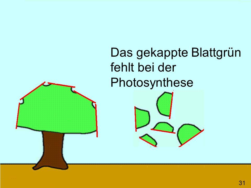 31 Das gekappte Blattgrün fehlt bei der Photosynthese