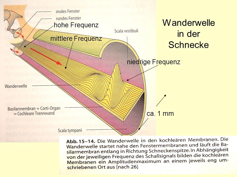 12 Wanderwelle in der Schnecke mittlere Frequenz hohe Frequenz niedrige Frequenz ca. 1 mm