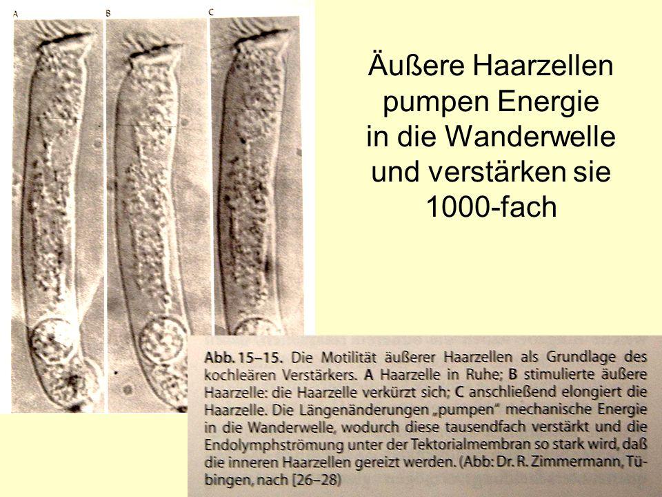13 Äußere Haarzellen pumpen Energie in die Wanderwelle und verstärken sie 1000-fach