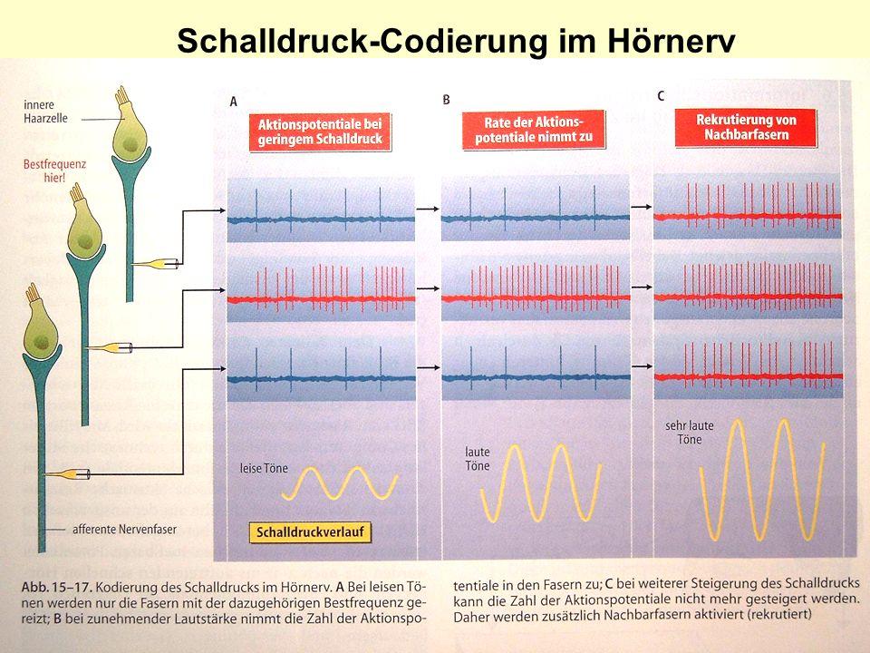 14 Schalldruck-Codierung im Hörnerv