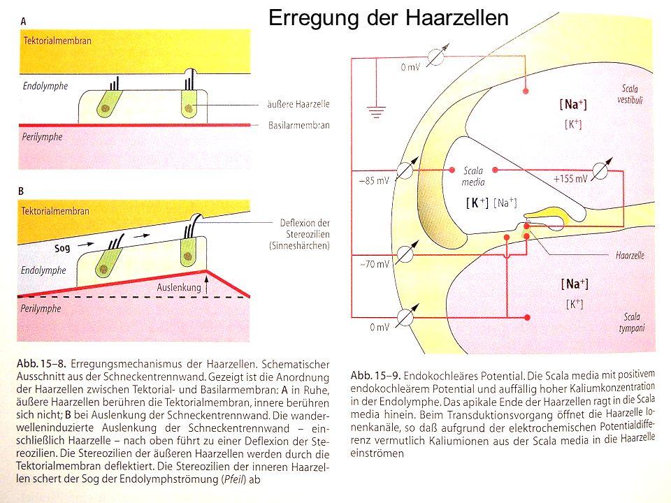7 Erregung der Haarzellen