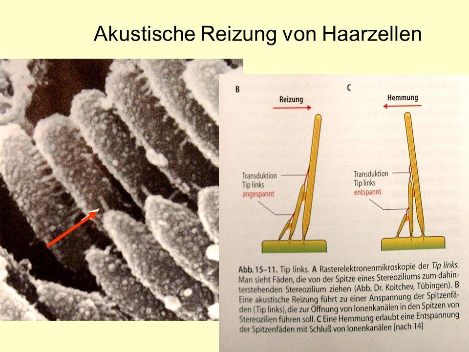 9 Akustische Reizung von Haarzellen