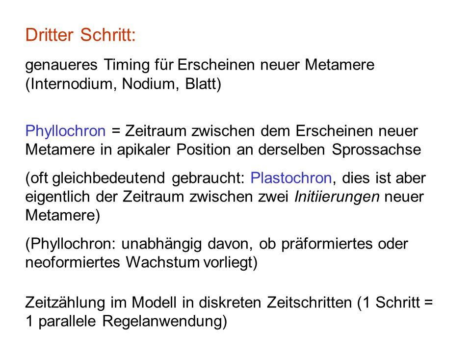 Dritter Schritt: genaueres Timing für Erscheinen neuer Metamere (Internodium, Nodium, Blatt) Phyllochron = Zeitraum zwischen dem Erscheinen neuer Metamere in apikaler Position an derselben Sprossachse (oft gleichbedeutend gebraucht: Plastochron, dies ist aber eigentlich der Zeitraum zwischen zwei Initiierungen neuer Metamere) (Phyllochron: unabhängig davon, ob präformiertes oder neoformiertes Wachstum vorliegt) Zeitzählung im Modell in diskreten Zeitschritten (1 Schritt = 1 parallele Regelanwendung)