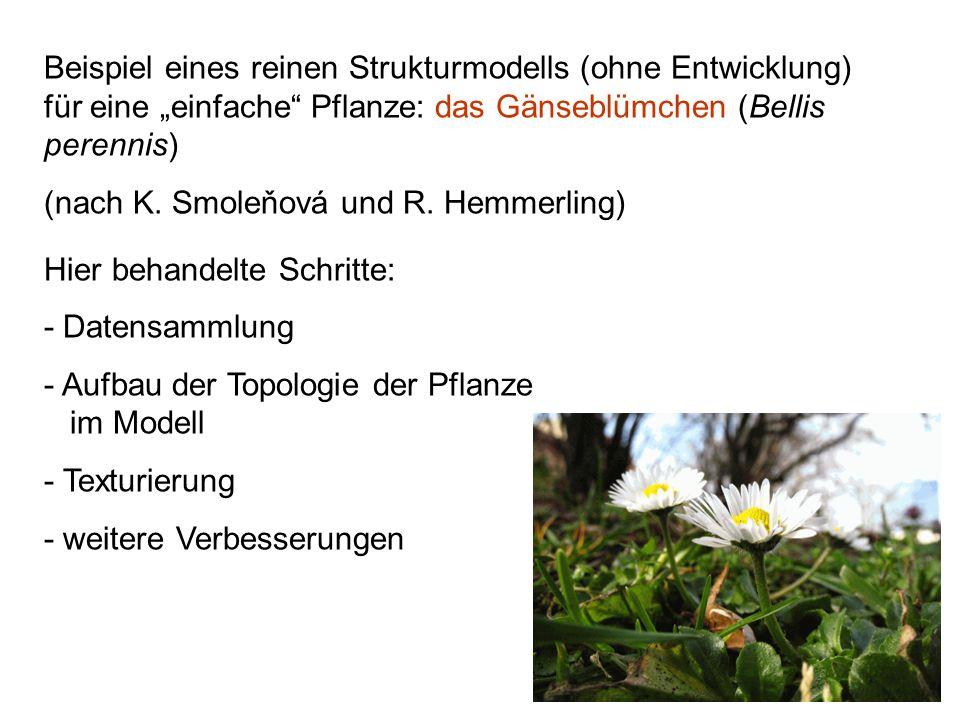 Beispiel eines reinen Strukturmodells (ohne Entwicklung) für eine einfache Pflanze: das Gänseblümchen (Bellis perennis) (nach K. Smoleňová und R. Hemm