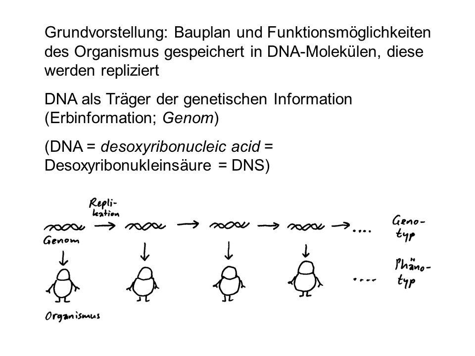 Grundvorstellung: Bauplan und Funktionsmöglichkeiten des Organismus gespeichert in DNA-Molekülen, diese werden repliziert DNA als Träger der genetisch