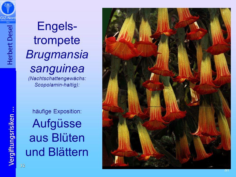Herbert Desel Vergiftungsrisiken... /31 32 Engels- trompete Brugmansia sanguinea (Nachtschattengewächs: Scopolamin-haltig): häufige Exposition: Aufgüs