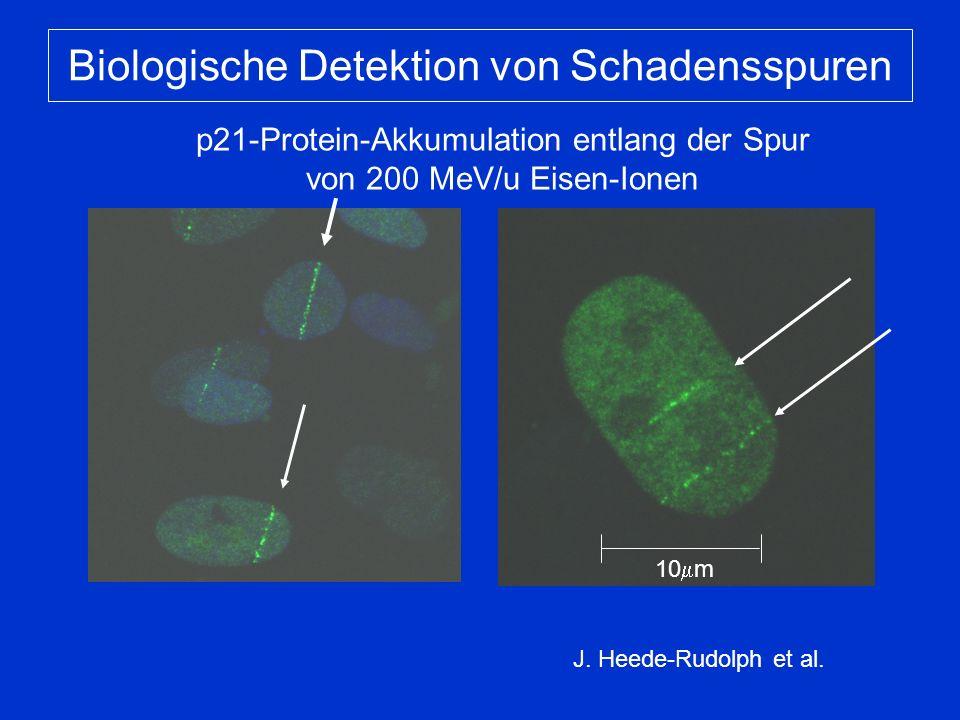 Biologische Detektion von Schadensspuren p21-Protein-Akkumulation entlang der Spur von 200 MeV/u Eisen-Ionen J.