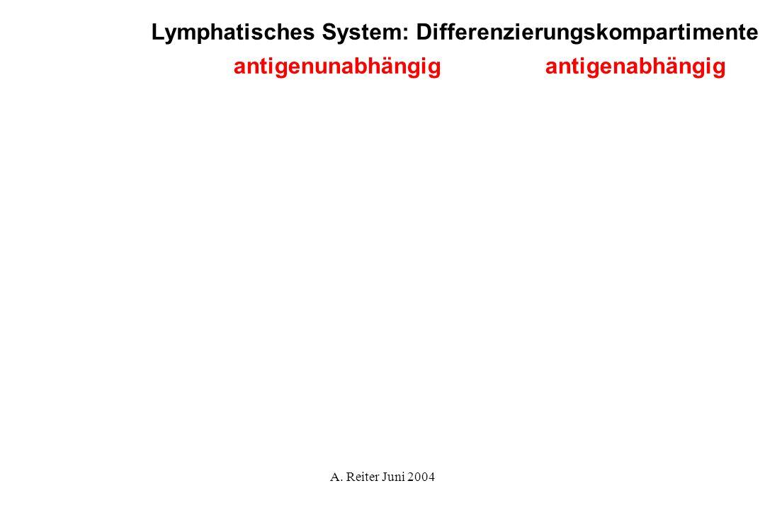 A. Reiter Juni 2004 Lymphatisches System: Differenzierungskompartimente antigenabhängigantigenunabhängig