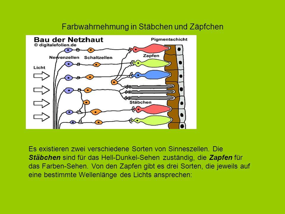 Farbwahrnehmung in Stäbchen und Zäpfchen Es existieren zwei verschiedene Sorten von Sinneszellen. Die Stäbchen sind für das Hell-Dunkel-Sehen zuständi