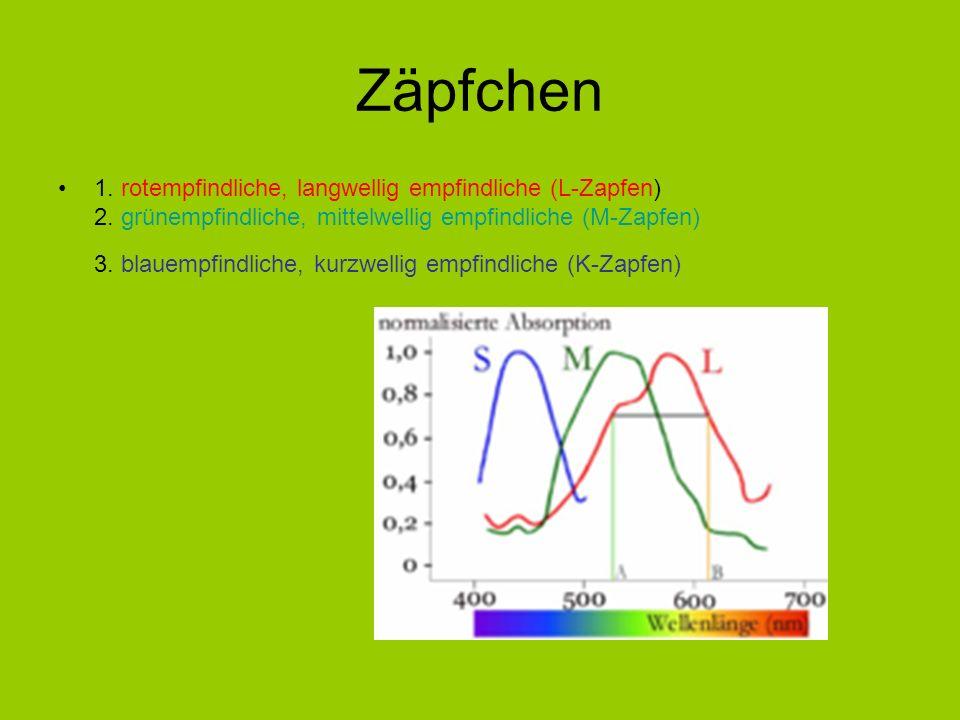 Zäpfchen 1. rotempfindliche, langwellig empfindliche (L-Zapfen) 2. grünempfindliche, mittelwellig empfindliche (M-Zapfen) 3. blauempfindliche, kurzwel