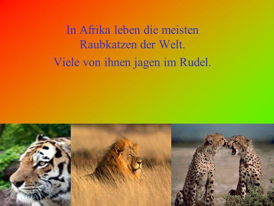In Afrika leben viele verschiedene Tiere: z. B.: Löwen.