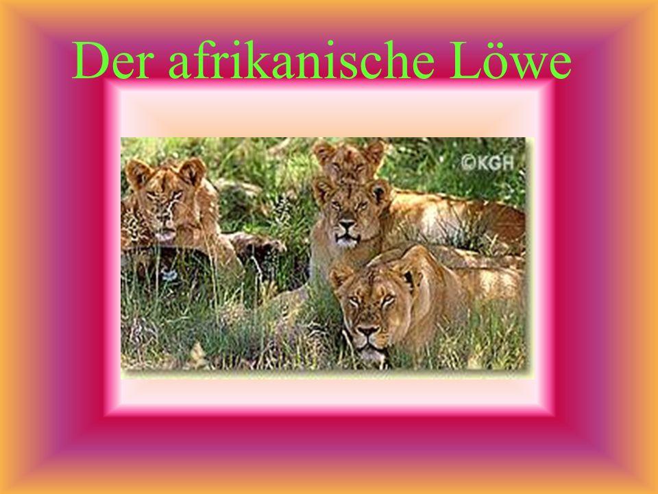 In Afrika leben die meisten Raubkatzen der Welt. Viele von ihnen jagen im Rudel.