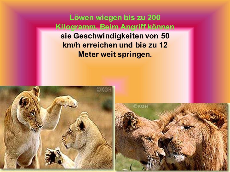 Der afrikanische Löwe