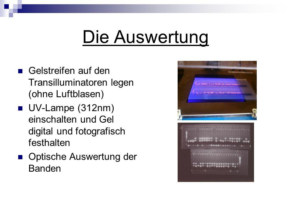Die Auswertung Gelstreifen auf den Transilluminatoren legen (ohne Luftblasen) UV-Lampe (312nm) einschalten und Gel digital und fotografisch festhalten
