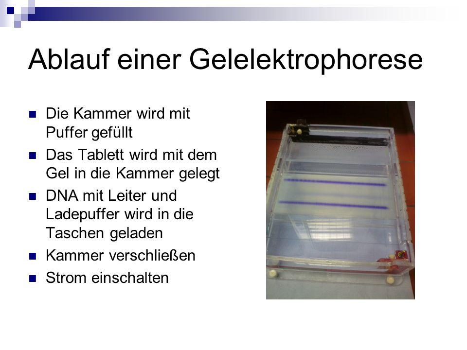 Ablauf einer Gelelektrophorese Die Kammer wird mit Puffer gefüllt Das Tablett wird mit dem Gel in die Kammer gelegt DNA mit Leiter und Ladepuffer wird