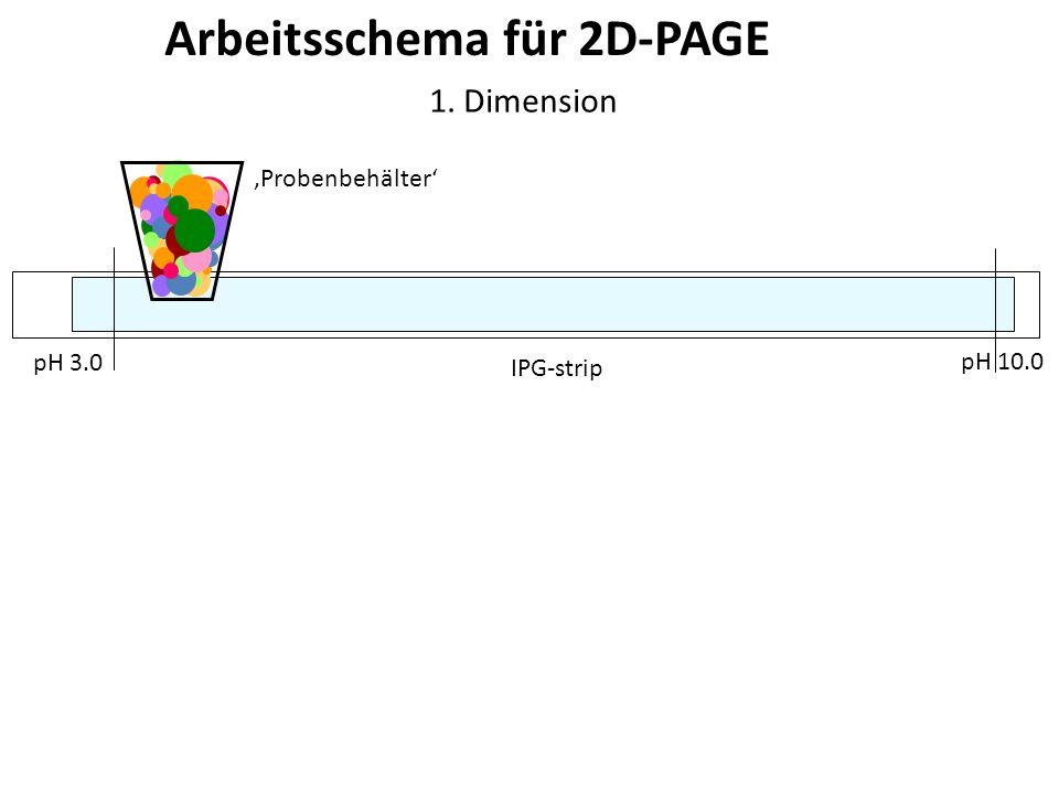 Arbeitsschema für 2D-PAGE IPG-strip 1. Dimension Probenbehälter pH 3.0 pH 10.0