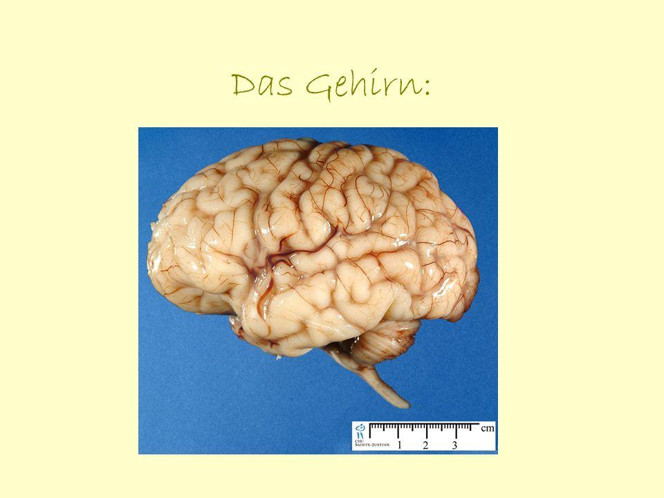 Allgemeines zum Gehirn Die genauen Vorgänge der Informationsweitergabe, -verarbeitung oder -speicherung sind immer noch nicht umfassend geklärt.