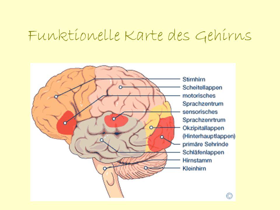 Funktionelle Karte des Gehirns: im Stirnhirn die Funktionen von Intelligenz, Sprache (motorisches Sprachzentrum), die Persönlichkeitsmerkmale sowie die Bewegungssteuerung zu finden sind im hinteren Teil des Großhirns, dem Okzipitallappen, befindet sich die Sehrinde im Zwischenhirn wird die Hormonausschüttung gesteuert der Schläfenlappen ist wichtig für das Gedächtnis sowie für Gefühle und Emotionen der Scheitellappen beherbergt die Hörrinde und das Sprachverständnis mit dem Scheitellappen werden abstrakte mathematische Probleme und Musik erfasst im Hirnstamm befinden sich Nervenbahnen, die das Gehirn mit dem Rückenmark verbinden.
