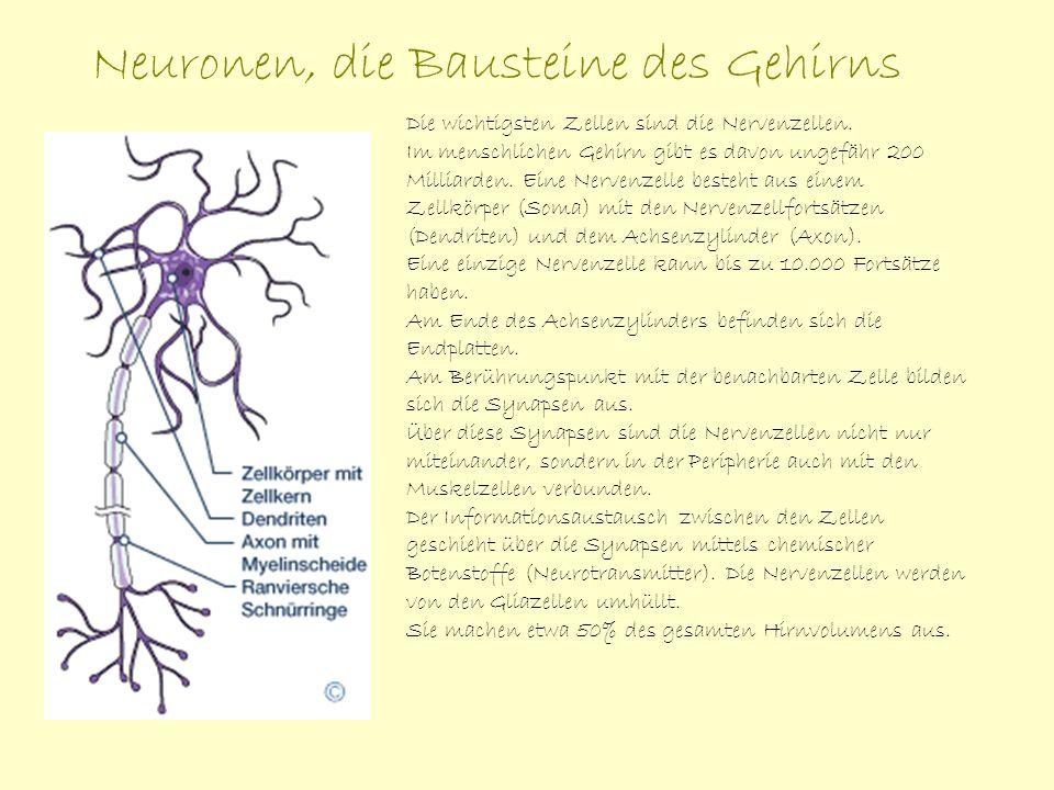 Neuronen, die Bausteine des Gehirns Die wichtigsten Zellen sind die Nervenzellen. Im menschlichen Gehirn gibt es davon ungefähr 200 Milliarden. Eine N