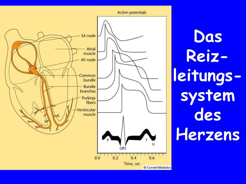 Das Reiz- leitungs- system des Herzens