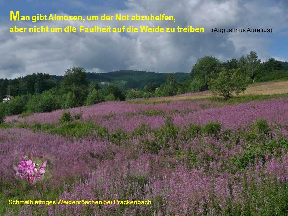 Schmalblättriges Weidenröschen bei Prackenbach M an gibt Almosen, um der Not abzuhelfen, aber nicht um die Faulheit auf die Weide zu treiben (Augustin