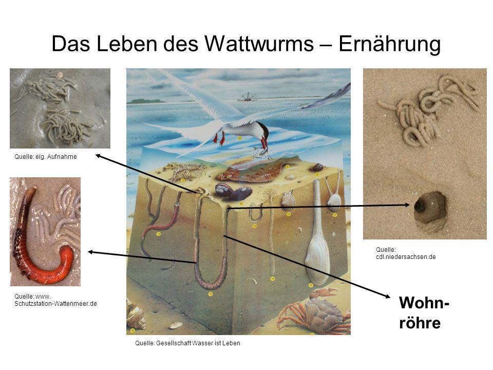 Das Leben des Wattwurms – Ernährung Wohn- röhre Quelle: www. Schutzstation-Wattenmeer.de Quelle: cdl.niedersachsen.de Quelle: eig. Aufnahme Quelle: Ge