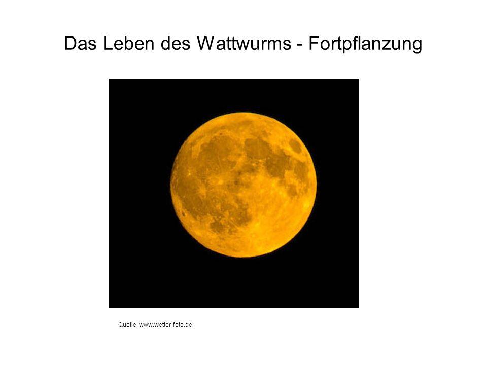 Das Leben des Wattwurms - Fortpflanzung Quelle: www.wetter-foto.de