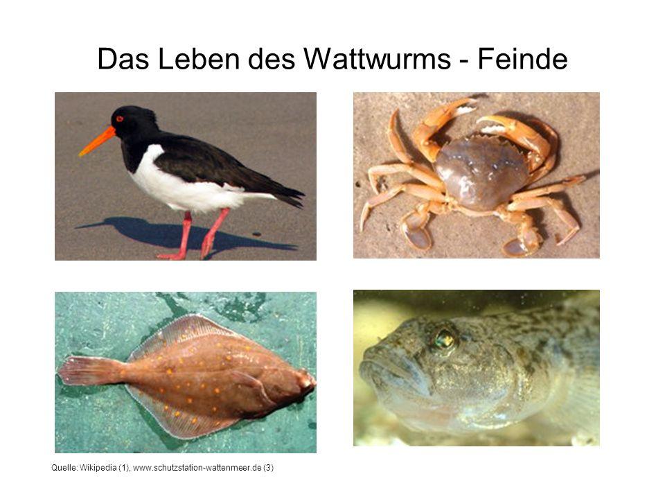 Das Leben des Wattwurms - Feinde Quelle: Wikipedia (1), www.schutzstation-wattenmeer.de (3)