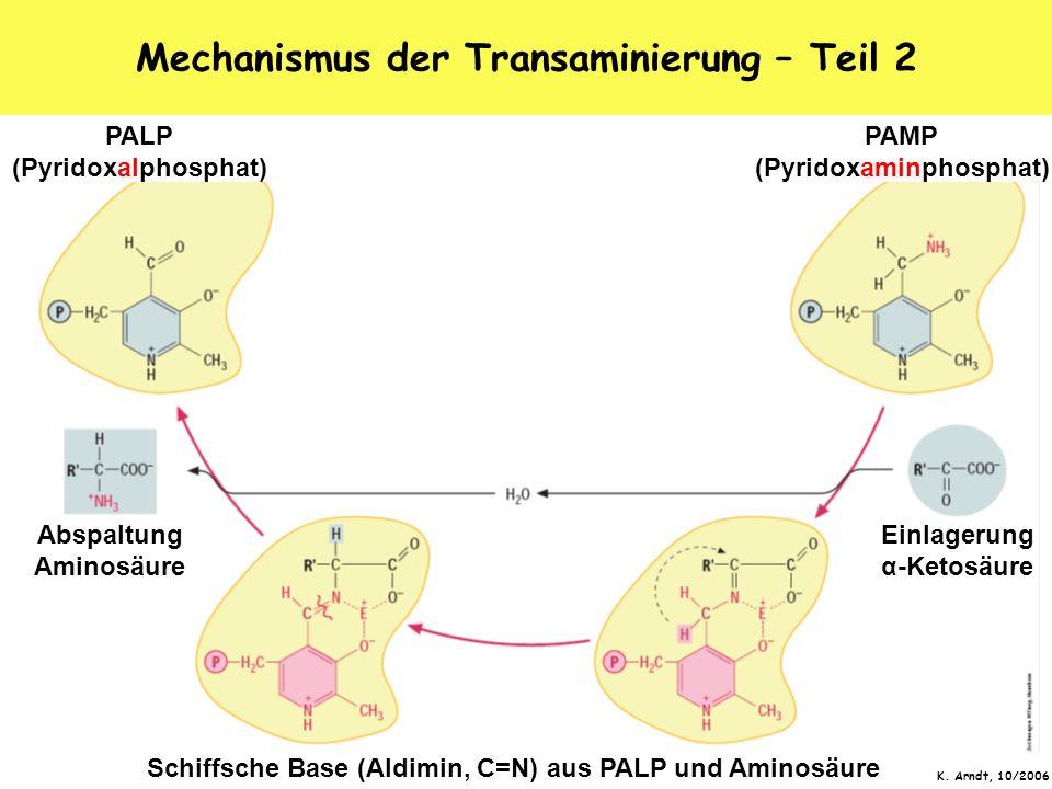 K. Arndt, 10/2006 Mechanismus der Transaminierung – Teil 2 PALP (Pyridoxalphosphat) PAMP (Pyridoxaminphosphat) Einlagerung α-Ketosäure Abspaltung Amin